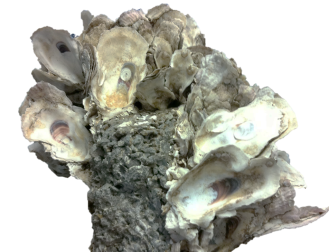 cropped-oysterbreak-cutout.png