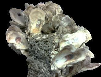 OysterBreak cutout